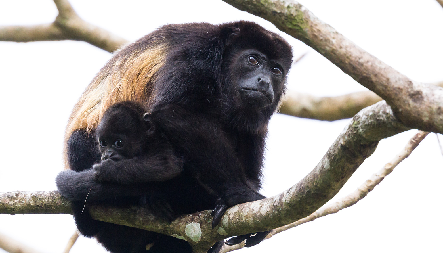 Howler monkey with young climbing tree